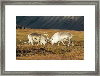 Rutting Svalbard Reindeer Framed Print