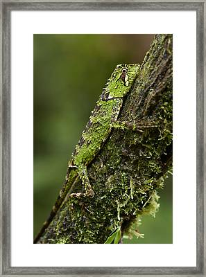 Sabah Eyebrow Lizard Mt Kinabalu Np Framed Print