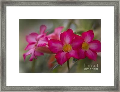 Sabi Star - Desert Rose Garden Of Dreams Hawaii Framed Print by Sharon Mau