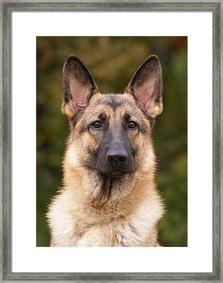 Sable German Shepherd Dog Framed Print by Sandy Keeton