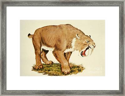 Sabretooth Cat Framed Print by Tom McHugh