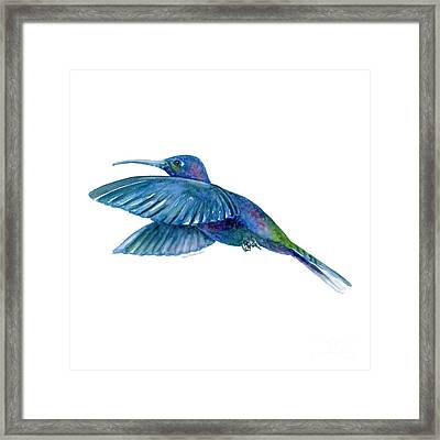 Sabrewing Hummingbird Framed Print by Amy Kirkpatrick