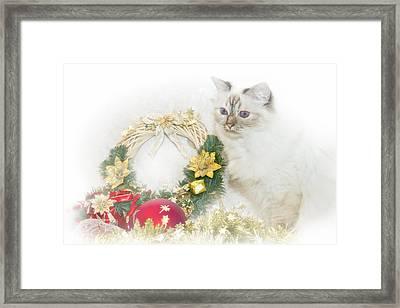 Sacred Cat Of Burma Christmas Time Framed Print by Melanie Viola