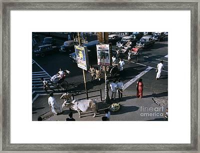 Sacred Cow In Kolkata Calcutta Framed Print