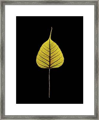 Sacred Fig (ficus Religiosa) Leaf Framed Print by Gilles Mermet