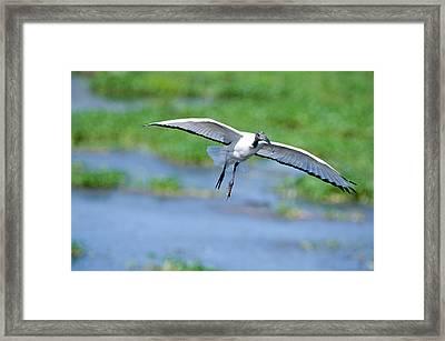 Sacred Ibis Threskiornis Aethiopicus Framed Print