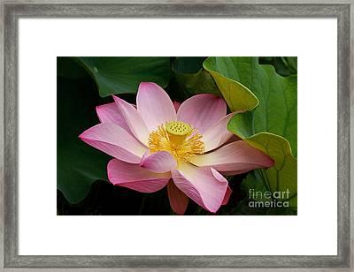 Sacred Lotus Framed Print