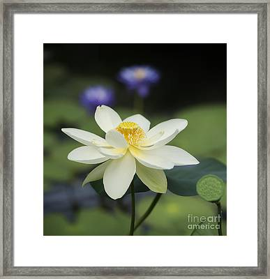 Sacred Lotus  Framed Print by Tim Gainey