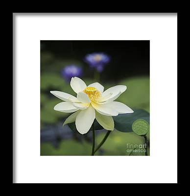 Lotus Seed Framed Prints