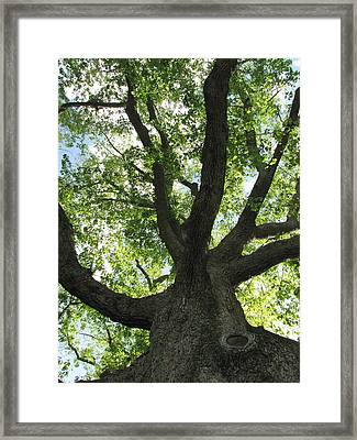 Framed Print featuring the photograph Sacred Oak by Melissa Stoudt