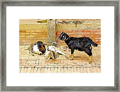 Sacrificial Goats In A Hindu Temple In Patan Durbar Square In Lalitpur-nepal  Framed Print by Ruth Hager