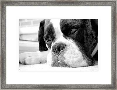 Sad Boxer Dog Framed Print