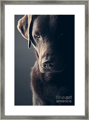 Sad Chocolate Labrador Framed Print by Justin Paget
