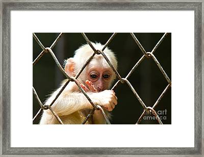 Sad Little Monkey  Framed Print