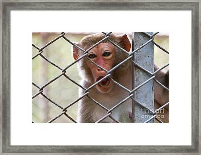 Sad Monkey Framed Print