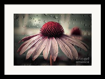 Echinacea Framed Prints