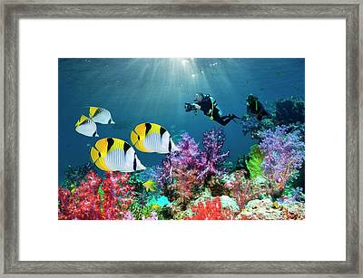 Saddleback Butterflyfish And Scuba Divers Framed Print