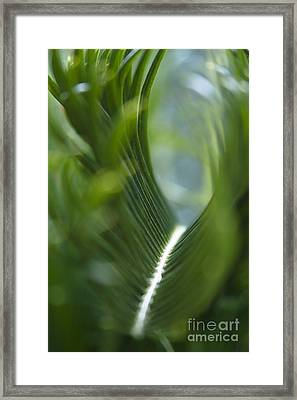 Sago Palm - Cycas Revoluta Framed Print