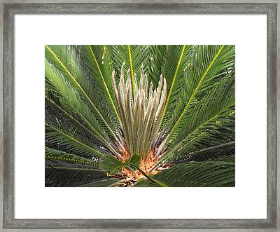 Sago Palm In Bloom Framed Print by Rebecca Cearley
