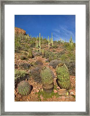 Saguaro And Barrel Cacti  Tonto N M Framed Print by Yva Momatiuk John Eastcott