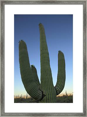 Framed Print featuring the photograph Saguaro Cactus At Sunset by Alan Vance Ley