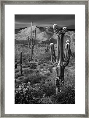 Saguaro Cactus In Black And White At Sunset Framed Print