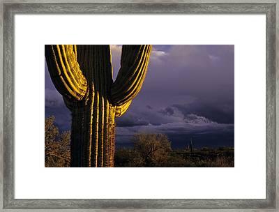 Saguaro Cactus Sunset At Dusk Arizona State Usa Framed Print