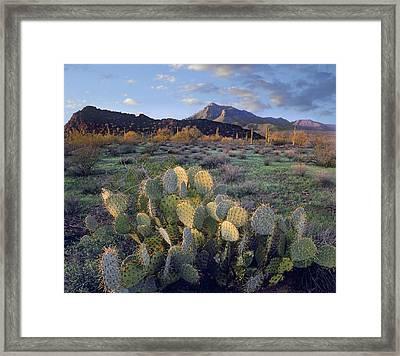 Saguaro Cactus Framed Print by Tim Fitzharris