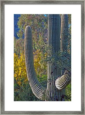 Saguaro Fall Color Framed Print