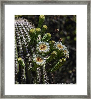 Framed Print featuring the photograph Saguaro Flowers by Elaine Malott