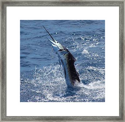Sailfish Release Framed Print by Carey Chen