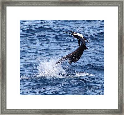 Sailfish Twist Framed Print by Carey Chen