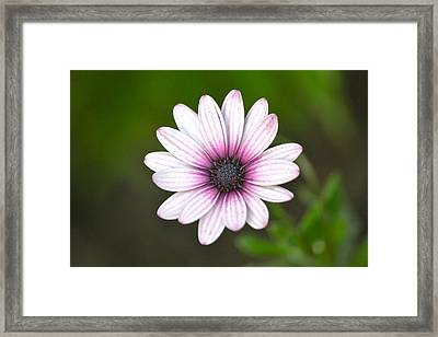 Sailor Boy Daisy Framed Print by Dave Woodbridge