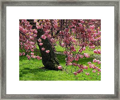 Framed Print featuring the photograph Sakura Blossom by Yue Wang