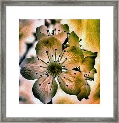 Sakura - Cherry Blossom Framed Print by Marianna Mills
