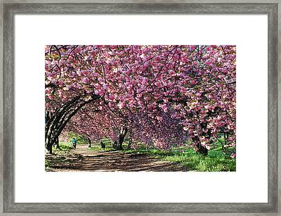 Sakura In Central Park Framed Print by Yue Wang