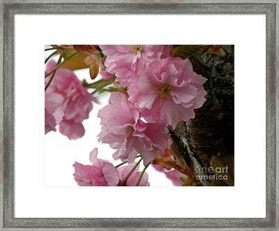 Sakura Framed Print by Laura Yamada
