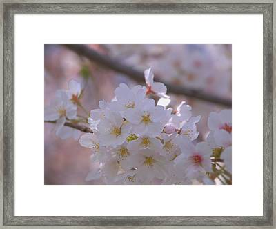 Framed Print featuring the photograph Sakura by Rachel Mirror