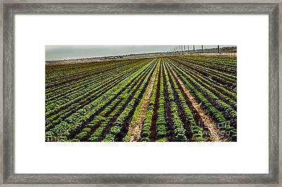 Salad Bowl Lettuce Framed Print by Robert Bales