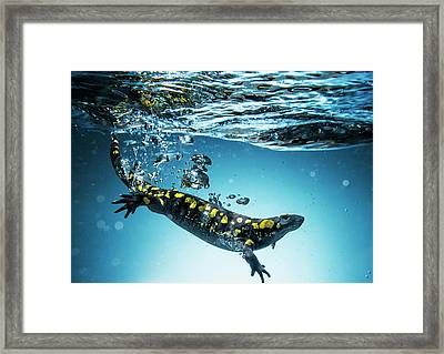 Salamander  Caudata  Swimming In Water Framed Print