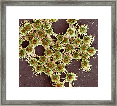 Saliva And Bacteria Framed Print by Science Photo Library