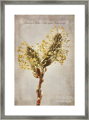 Salix Caprea Kilmarnock Catkins Framed Print by John Edwards