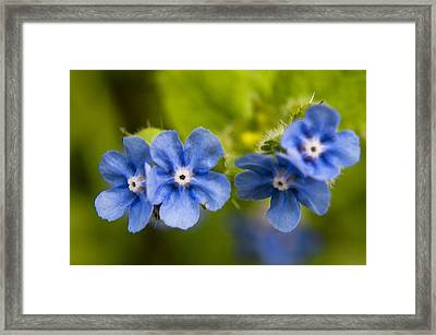 Salix Eugenes Framed Print