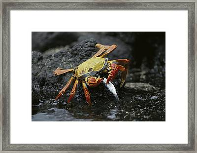 Sally Lightfoot Crab Feeing Galapagos Framed Print by Tui De Roy