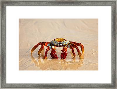 Sally Lightfoot Crab Framed Print by June Jacobsen