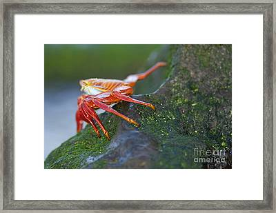Sally Lightfoot Crab On Rock Framed Print by Sami Sarkis