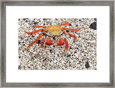 Sally Lightfoot Crab Framed Print by Sue Ford/science Photo Library