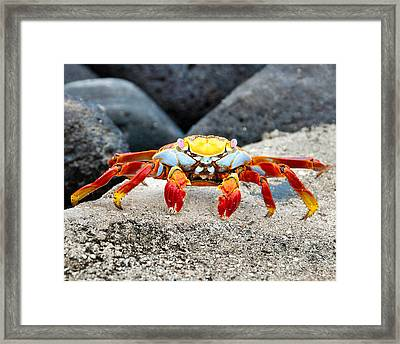 Sally Lightfoot Crab Framed Print by William Beuther