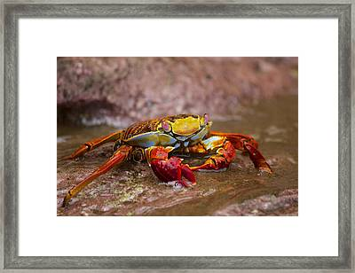 Sally Lightfoot Feeding Framed Print