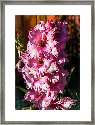Salmon Color Glad Framed Print by Robert Bales